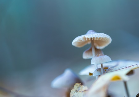 uneatable: Macro of small uneatable mushrooms growing in autumn forest.