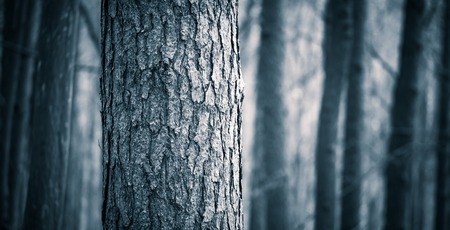 Close up of spooky trees trunks in fall forest. Halloween forest background. Stock Photo