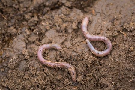 lombriz de tierra: Lombriz de tierra tendido en el suelo. Gusanos que viven bajo el suelo. Foto de archivo