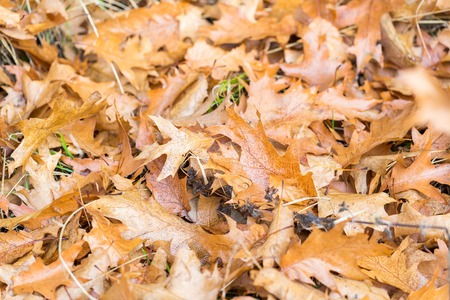 Dry oak leaves lying on ground. Background of natural dry brown leaves