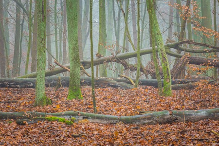 Beautiful autumnal forest landscape photographed at foggy day. Polish forest.