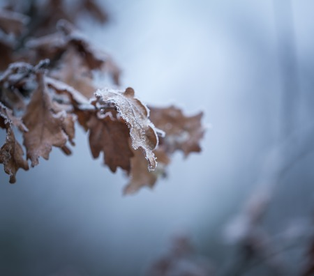 bunchy: Beautiful frozen tree branch with  dead leaves and ice crystals. Close up of withered tree twig in winter. Stock Photo