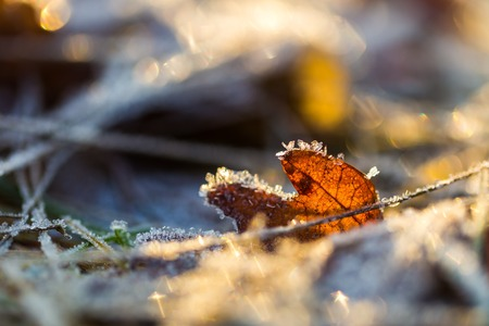 sear: Close up of fallen leaf with rime. Beautiful autumnal or winter background.