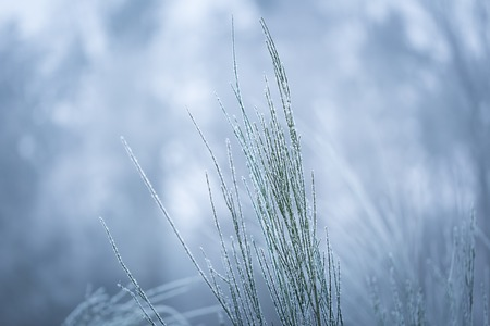 Broom twigs with rime in winter. Close up of broom bushwith hoarfrost in winter Stock Photo