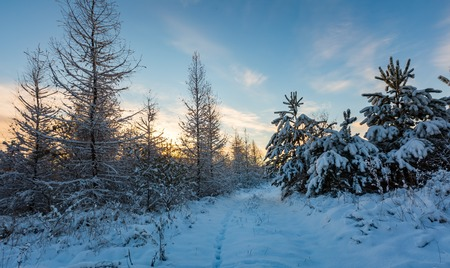 Fantastic morning winter landscape. Natural snow covered trees in countryside under blue sky.