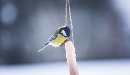 titmouse: European tit bird sitting on fat. Bird feeding in winter. Beautiful wild bird.