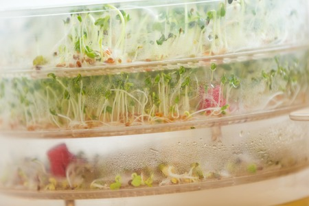 beansprouts: Sprouts growing in container. Healthy mixed sprouts growing in home.