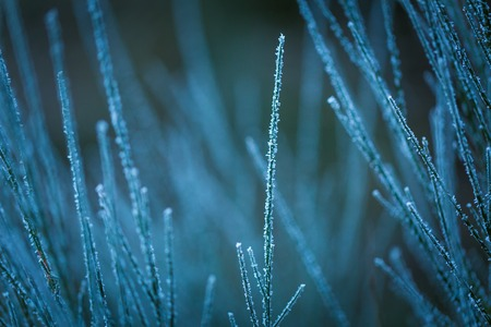 sooth: Broom twigs with rime in winter. Close up of broom bushwith hoarfrost in winter Stock Photo