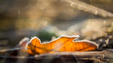contrast floral: Fallen leaf macro. Close up of colorful autumnal leaf with rime photographed at winter cold day. Stock Photo