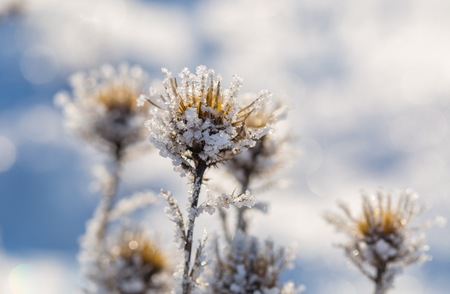 Withered and dry thistle flower in winter rime. Dry flower with hoarfrost