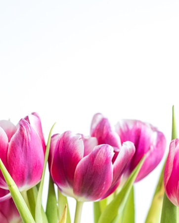 Beautiful two colored tulips close up on white background. Isolated spring flowers. Stock Photo