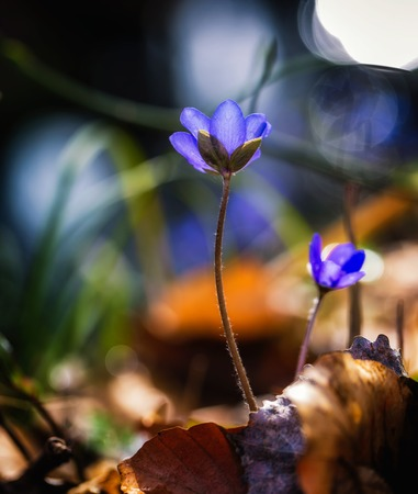 Blue anemone flowers in springtime. Natural blue flowers in european forest. Stock Photo