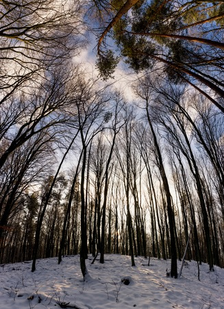 Winter woods in Poland. Landscape with good weather in forest. Polish countryside.