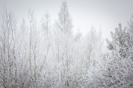 Winter trees with white rime. Natural beautiful background with hoarfrosted trees in winter.