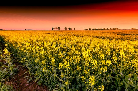 Beautiful blooming rape field at sunset. Cloudy sky over yellow napus field. Stock Photo