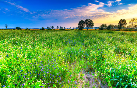 Summer morning landscape on buckwheat field with weeds. Beautiful after sunrise landscape with trees and fields. Stock Photo
