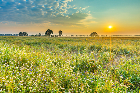 Summer sunrise over blooming buckwheat field with weeds. Foggy morning over field and tree. Stock Photo