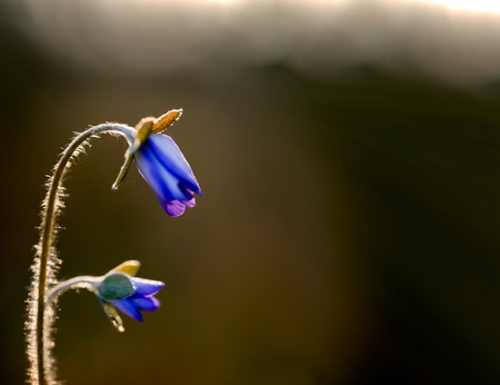 Blooming liverworts flowers in morning light. Macro of blue flowers. 版權商用圖片