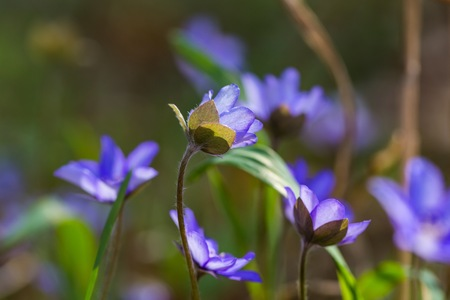 Blue liverworts flowers in close up. Springtime forest flowers growing in Europe.
