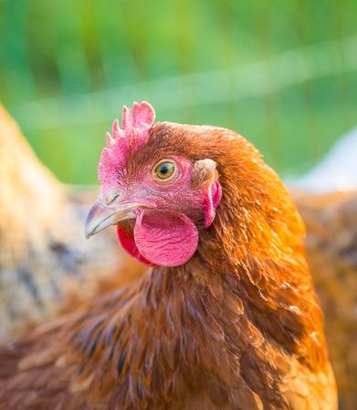 portait: Chicken portait. Close up of hen face on pasture. Beautiful animal. Stock Photo