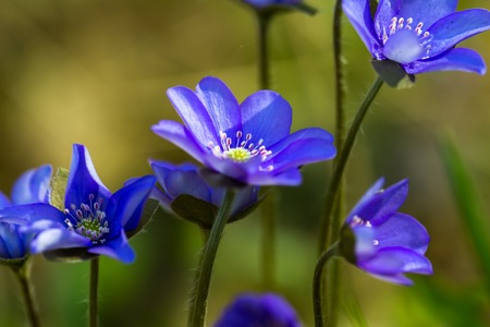 liverwort: Blue liverworts flowers in close up. Springtime forest flowers growing in Europe.