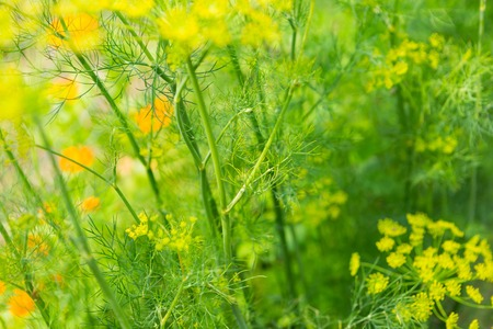 Dill flowers growing in vegetable garden. Natural ecologic garden.