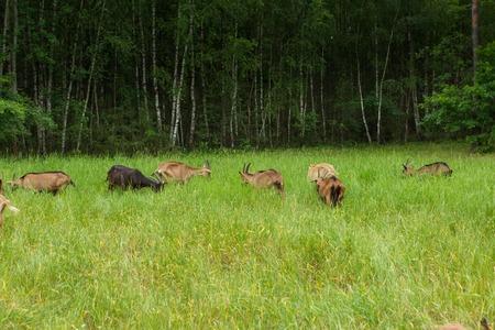 Goats on farm. Herd of animals in outdoor. Goat portrait.