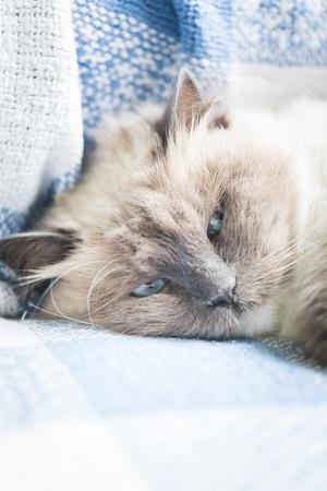gray cat: Beautiful Neva Masquerade cat portrait. Adult Purebred cat lying on sofa. Stock Photo