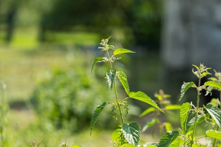 Bushes of wild nettle growing in nature. Medicinal wild herb. Stock Photo