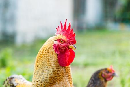 Portrait of farm chicken, Beautiful adult chicken. Bird face.