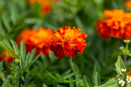 Beautiful marigolds flowers blooming in polish garden. Summer garden flowers