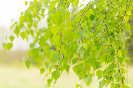 Young green leaves of birch tree on branch. Close up fresh of birch leaves in springtime Stock Photo