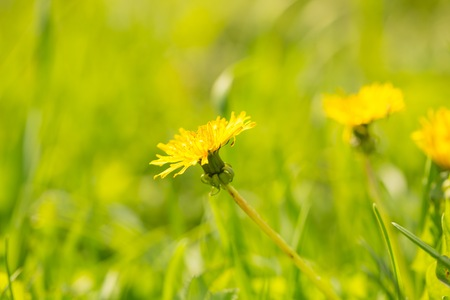 Close up of fresh yellow dandelion flower. Spring background with dandelion flower