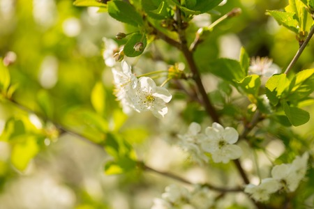 Blooming branches of cherry tree or gean tree. Close up of flowering branches in polish orchard. Zdjęcie Seryjne