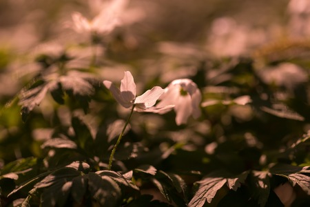 White anemone blooming in spring forest. Wood flowers in polish spring forest. Zdjęcie Seryjne
