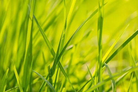 Green spring grass in close up. Spring background with green leaves of grass.