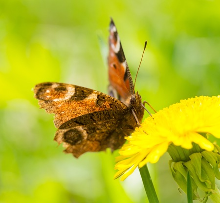 Beautiful spring butterfly sitting on plant on meadow in sunny day. Zdjęcie Seryjne