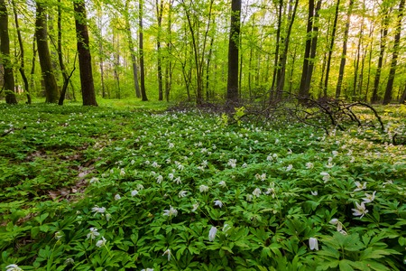 White wild flowers in spring forest. Beautiful polish landscape Stock Photo