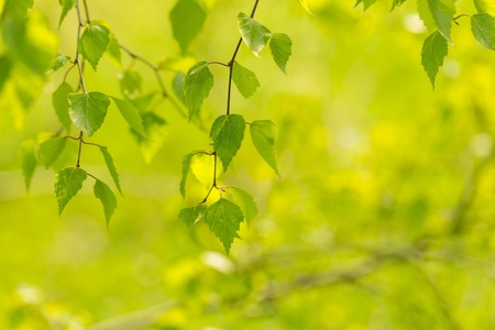 Young green leaves of birch tree on branch. Close up fresh of birch leaves in springtime Zdjęcie Seryjne