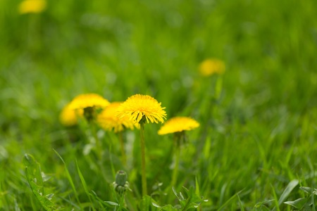 Yellow dandelions growing on spring meadow. Popular spring wild flower.