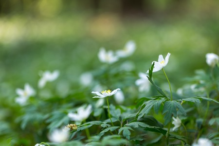 White anemone flowers blooming in springtime forest in Poland. Wild white flowers.