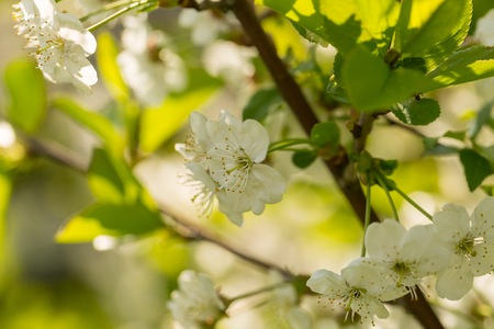 Blooming branches of cherry tree or gean tree. Close up of flowering branches in polish orchard. Stock Photo