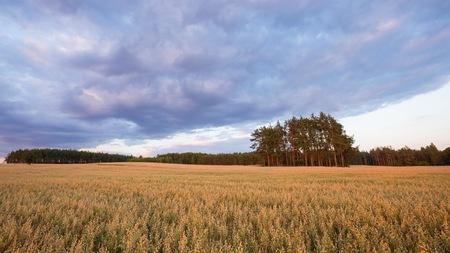 Beautiful summer sunset landscape with oat field. Idyllic summer fields.