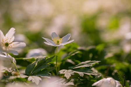 White anemone blooming in spring forest. Wood flowers in polish spring forest. Stock Photo