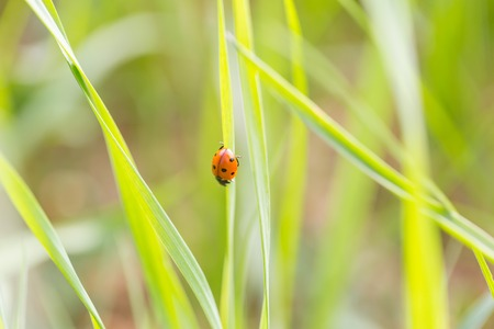 Ladybird walking on green plant in spring day. Close up of ladybug.