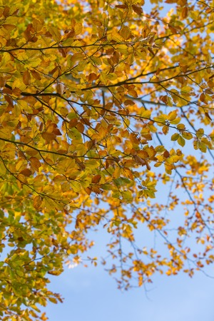 Beautiful golden beech leaves background. Autumnal tree branch. Stock Photo
