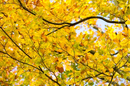 Beautiful golden beech leaves background. Autumnal tree branch. Archivio Fotografico