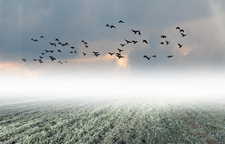 Surreal calm foggy landscape with herd of crows flying. Good for horror digital background.