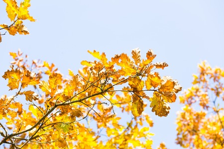 Colorful oak branch with leaves on blue sky background. Autumnal tree branch. Stock Photo