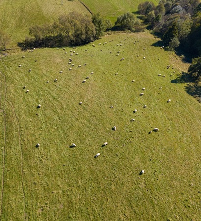Aerial landscape with green meadow and sheeps grazing on grass. Animals on their pasture.